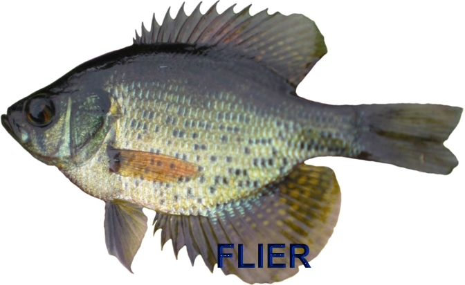 The Identification Of Panfish